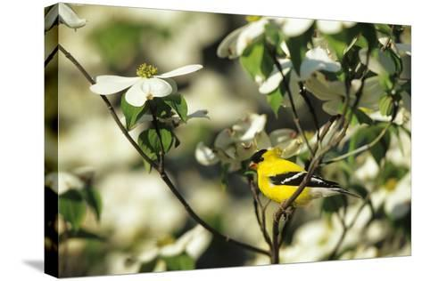 American Goldfinch Male in Flowering Dogwood Tree, Marion, Il-Richard and Susan Day-Stretched Canvas Print