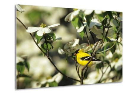 American Goldfinch Male in Flowering Dogwood Tree, Marion, Il-Richard and Susan Day-Metal Print