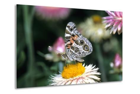 American Lady Butterfly on Outback Paper Daisy, Marion County, Illinois-Richard and Susan Day-Metal Print