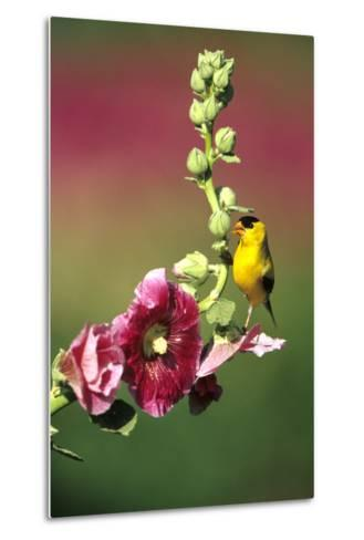 American Goldfinch Male on Hollyhock, Marion, Il-Richard and Susan Day-Metal Print
