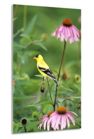 American Goldfinch Male on Purple Coneflower, Marion County, Illinois-Richard and Susan Day-Metal Print
