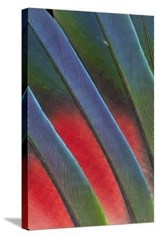Fanned Out Tail Feathers of the Blue Headed Pionus-Darrell Gulin-Stretched Canvas Print
