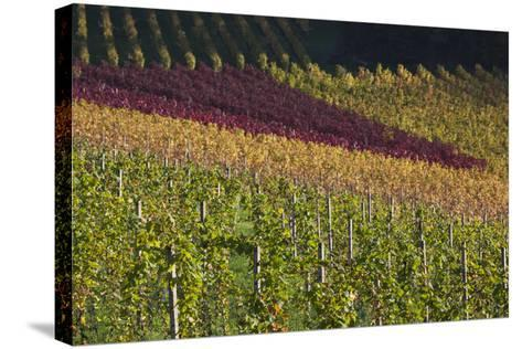 Germany, Baden-Wurttemburg, Black Forest, Gengenbach, Hillside Vineyards, Fall-Walter Bibikow-Stretched Canvas Print