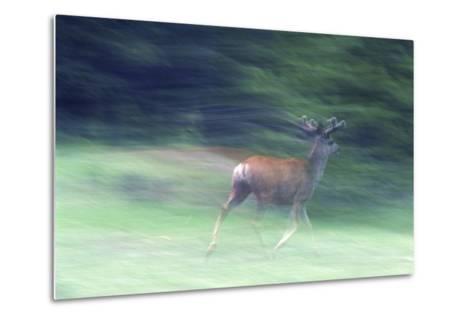 Canada, Alberta, Jasper National Park. Mule Deer Running-Jaynes Gallery-Metal Print
