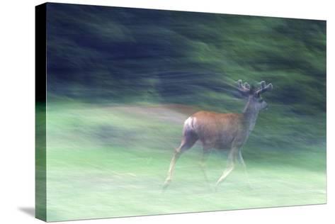 Canada, Alberta, Jasper National Park. Mule Deer Running-Jaynes Gallery-Stretched Canvas Print