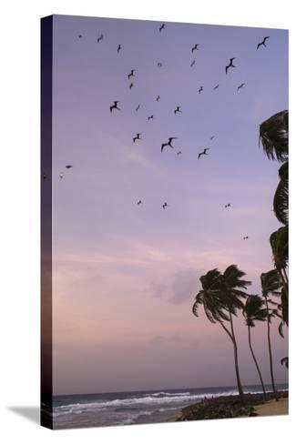 Coconut Palm and Magnificent Frigatebird, Half Moon Caye, Lighthouse Reef, Atoll, Belize-Pete Oxford-Stretched Canvas Print