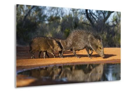 Collared Peccary Family at Pond-Larry Ditto-Metal Print