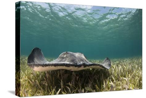 Caribbean Whiptail Ray, Shark Ray Alley, Hol Chan Marine Reserve, Belize-Pete Oxford-Stretched Canvas Print