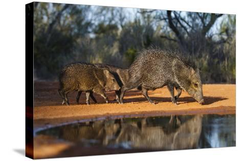Collared Peccary Family at Pond-Larry Ditto-Stretched Canvas Print
