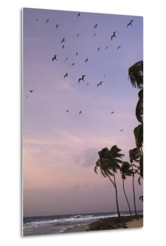Coconut Palm and Magnificent Frigatebird, Half Moon Caye, Lighthouse Reef, Atoll, Belize-Pete Oxford-Metal Print