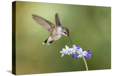 Black-Chinned Hummingbird Feeding-Larry Ditto-Stretched Canvas Print