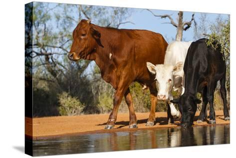 Cattle Drinking-Larry Ditto-Stretched Canvas Print