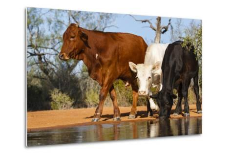 Cattle Drinking-Larry Ditto-Metal Print