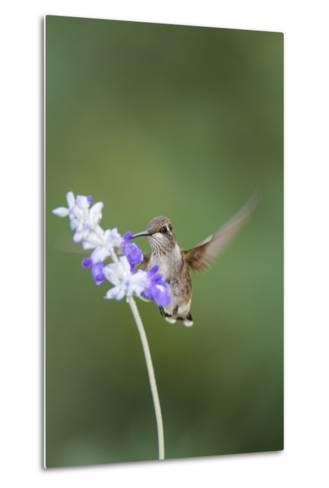 Black-Chinned Hummingbird Feeding-Larry Ditto-Metal Print