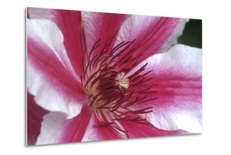 Carnaby Clematis Flower, Marion County, Illinois-Richard and Susan Day-Metal Print