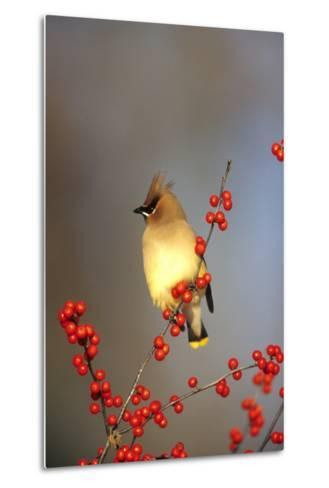 Cedar Waxwing in Common Winterberry, Marion, Il-Richard and Susan Day-Metal Print