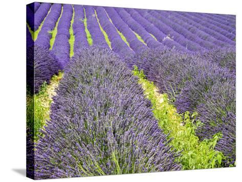 France, Provence, Patterns in the Lavender Field Near Roussillon-Terry Eggers-Stretched Canvas Print