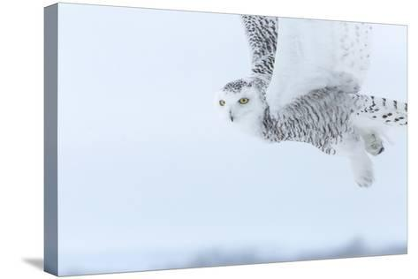 Canada, Ontario, Barrie. Close-Up of Snowy Owl in Flight-Jaynes Gallery-Stretched Canvas Print