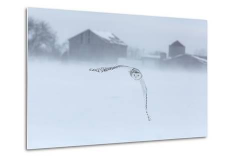 Canada, Ontario, Barrie. Snowy Owl in Flight-Jaynes Gallery-Metal Print
