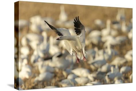 Chen Caerulescens, Bosque Del Apache National Wildlife Refuge, New Mexico-Maresa Pryor-Stretched Canvas Print