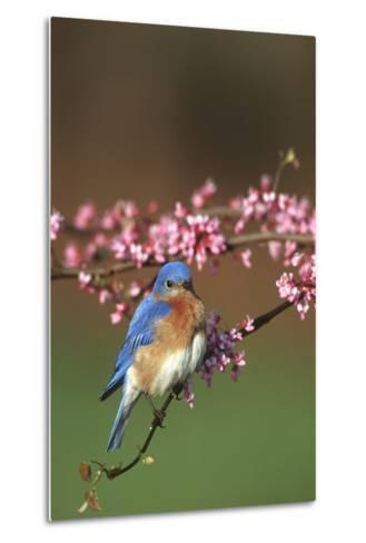 Eastern Bluebird Male in Redbud Tree in Spring Marion County, Illinois-Richard and Susan Day-Metal Print