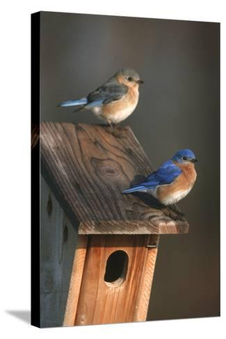 Eastern Bluebird Male and Female on Peterson Nest Box Marion County, Illinois-Richard and Susan Day-Stretched Canvas Print