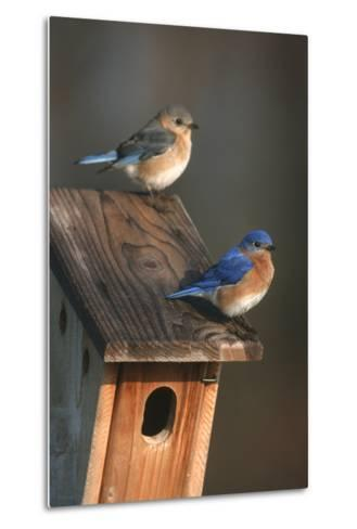 Eastern Bluebird Male and Female on Peterson Nest Box Marion County, Illinois-Richard and Susan Day-Metal Print