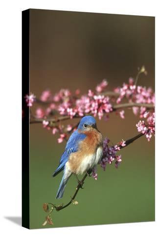 Eastern Bluebird Male in Redbud Tree in Spring Marion County, Illinois-Richard and Susan Day-Stretched Canvas Print