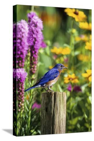 Eastern Bluebird Male on Fence Post Marion County, Illinois-Richard and Susan Day-Stretched Canvas Print