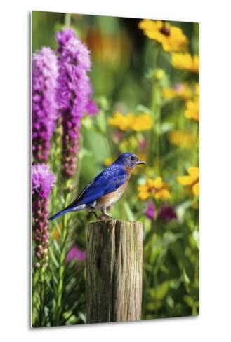 Eastern Bluebird Male on Fence Post Marion County, Illinois-Richard and Susan Day-Metal Print