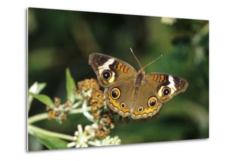 Common Buckeye Butterfly on Swamp Milkweed, Marion County, Illinois-Richard and Susan Day-Metal Print