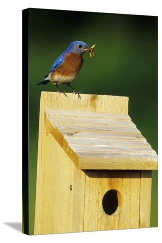 Eastern Bluebird Male with Mealworms at Nestbox Marion, Il-Richard and Susan Day-Stretched Canvas Print