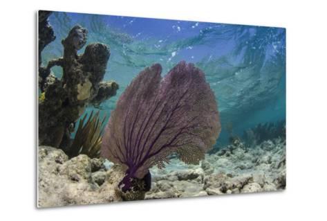 Common Sea Fan, Lighthouse Reef, Atoll, Belize-Pete Oxford-Metal Print