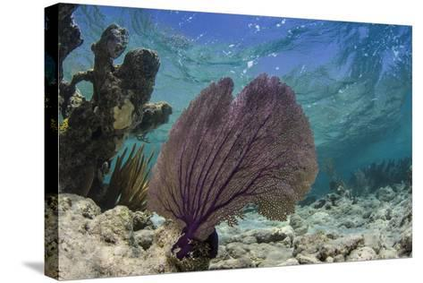 Common Sea Fan, Lighthouse Reef, Atoll, Belize-Pete Oxford-Stretched Canvas Print