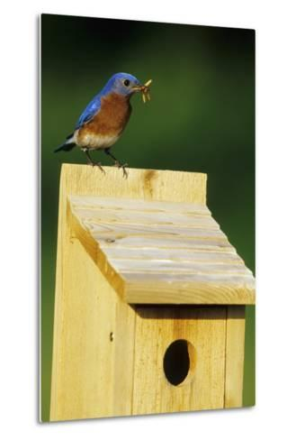 Eastern Bluebird Male with Mealworms at Nestbox Marion, Il-Richard and Susan Day-Metal Print