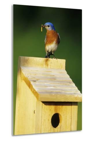 Eastern Bluebird Male with Mealworms at Nestbox Marion County, Illinois-Richard and Susan Day-Metal Print