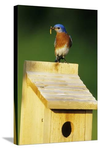 Eastern Bluebird Male with Mealworms at Nestbox Marion County, Illinois-Richard and Susan Day-Stretched Canvas Print