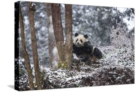 China, Chengdu Panda Base. Baby Giant Panda in Snowfall-Jaynes Gallery-Stretched Canvas Print