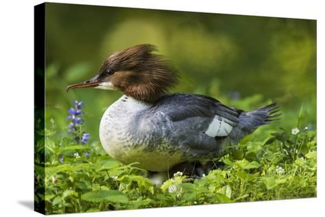 Common Merganser with Chicks. Munich, Bavaria, Germany-Martin Zwick-Stretched Canvas Print
