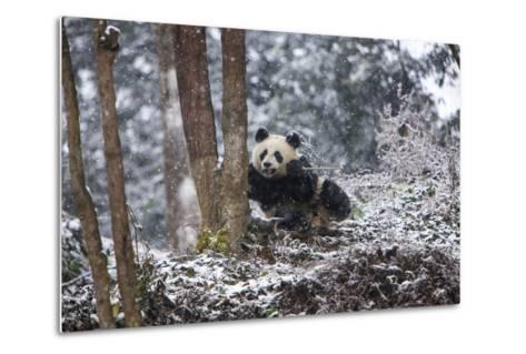 China, Chengdu Panda Base. Baby Giant Panda in Snowfall-Jaynes Gallery-Metal Print