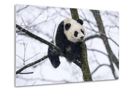 China, Chengdu Panda Base. Baby Giant Panda in Tree-Jaynes Gallery-Metal Print