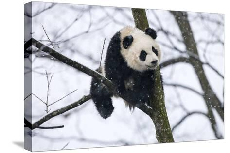China, Chengdu Panda Base. Baby Giant Panda in Tree-Jaynes Gallery-Stretched Canvas Print