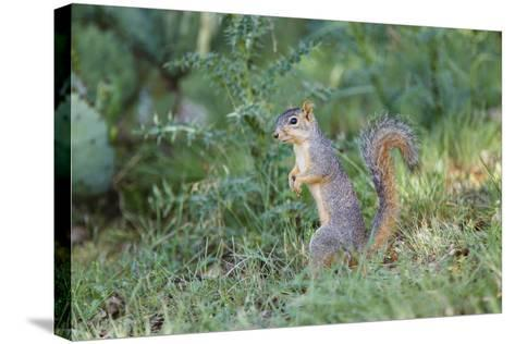 Eastern Fox Squirrel Foraging on Forest Floor-Larry Ditto-Stretched Canvas Print
