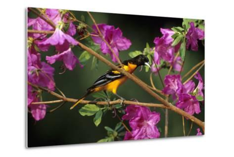 Baltimore Oriole Male on Azalea Bush, Marion, Il-Richard and Susan Day-Metal Print