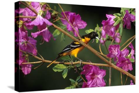 Baltimore Oriole Male on Azalea Bush, Marion, Il-Richard and Susan Day-Stretched Canvas Print