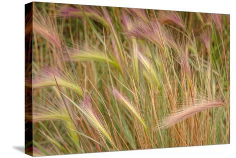 Fox-Tail Barley, Hordeum Jubatum, Roadside, Routt National Forest, Colorado, USA-Maresa Pryor-Stretched Canvas Print