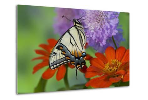 Eastern Tiger Swallowtail Butterfly-Darrell Gulin-Metal Print