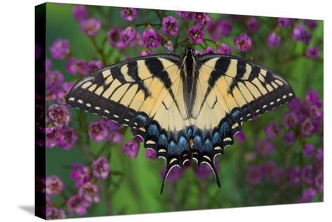 Eastern Tiger Swallowtail Butterfly-Darrell Gulin-Stretched Canvas Print