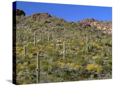 Arizona, Brittlebush Blooms Beneath Organ Pipe, Cholla and Saguaro Cacti, Near Diablo Wash-John Barger-Stretched Canvas Print