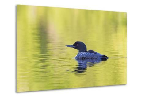 Canada, Quebec, Eastman. Common Loon with Sleeping Chick on Back-Jaynes Gallery-Metal Print